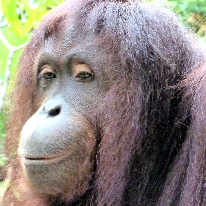 Begegnung mit Orang-Utan Dame Jacky im Urwald auf Borneo