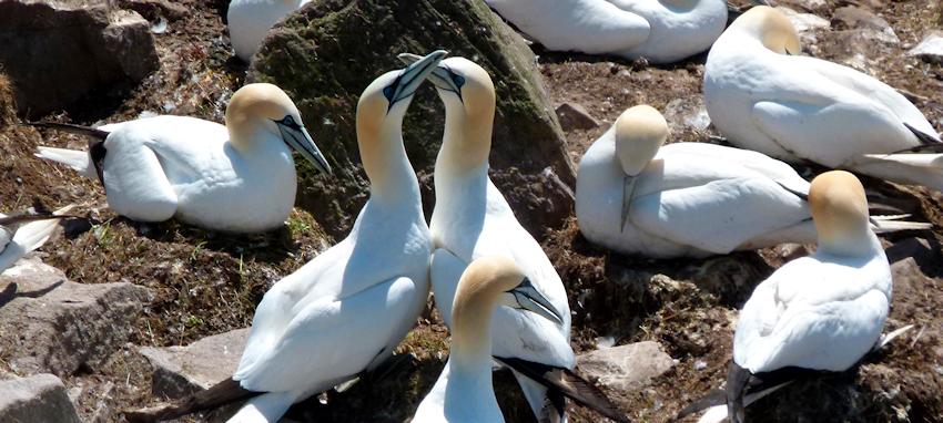 Neufundland: Avalon - Ein Felsen für 70 Tausend Seevögel