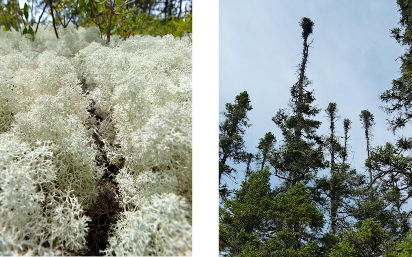 Neufundland: Terra Nova - die Giftpflanzen am Ochre Hill