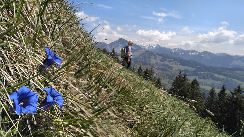 Enzian auf der Almwiese des Kranzhorn bei Erl im Inntal