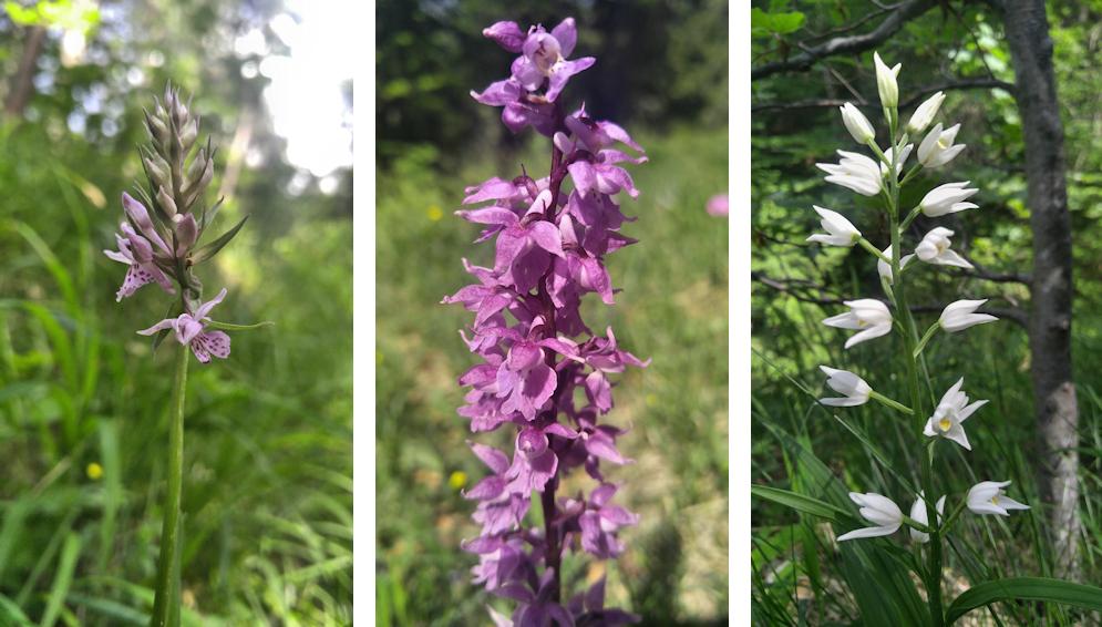 Bayerische Orchideen im Voralpenland
