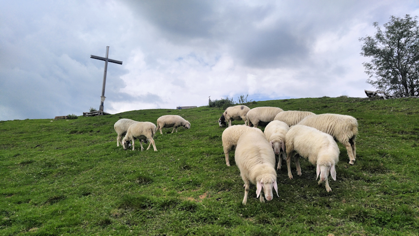 Schafe am Gipfel des Rauheck