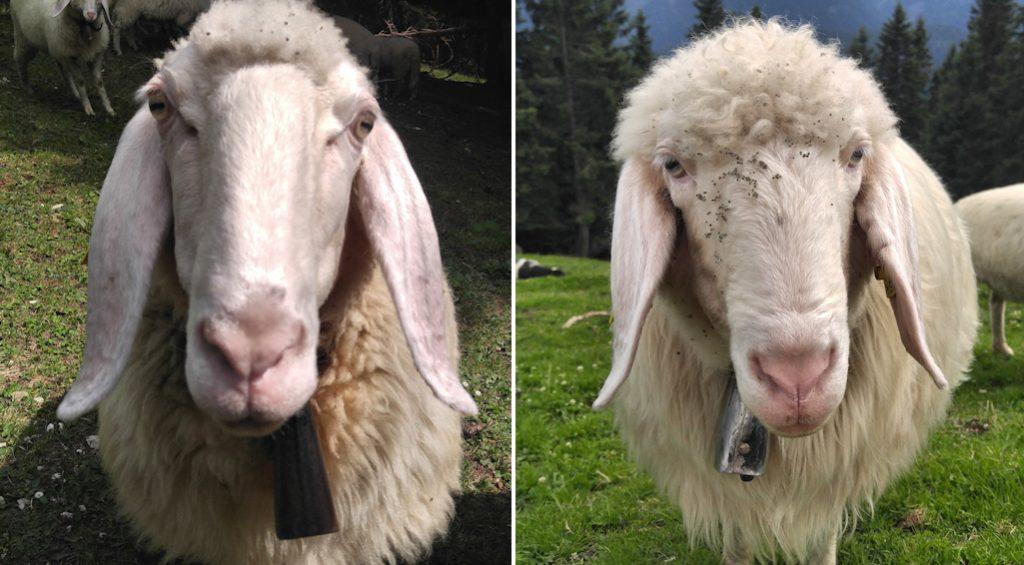 Schafe am Gipfel des Rauheck, Gratüberschreitung von Kochel nach Ohlstadt