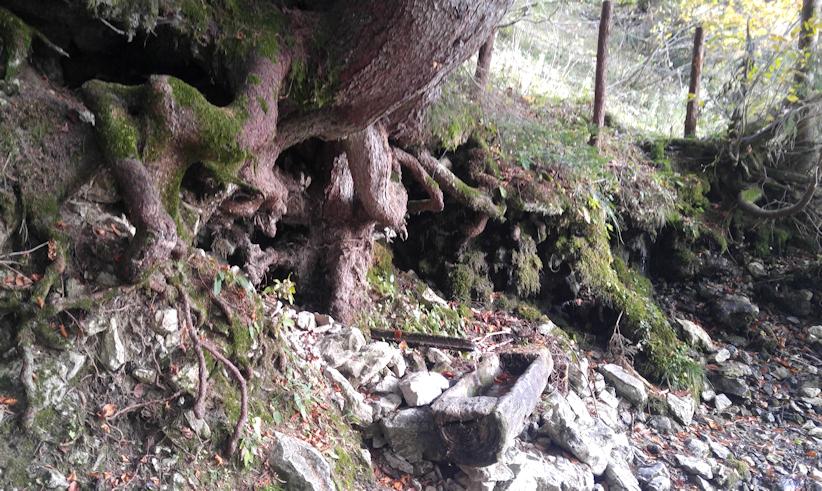 Quelle unter dem alten Tannenbaum