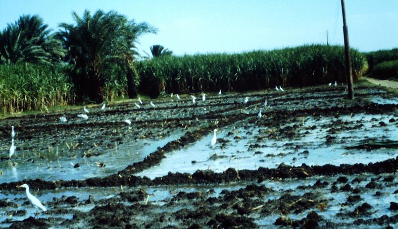Felder in der Nilebene