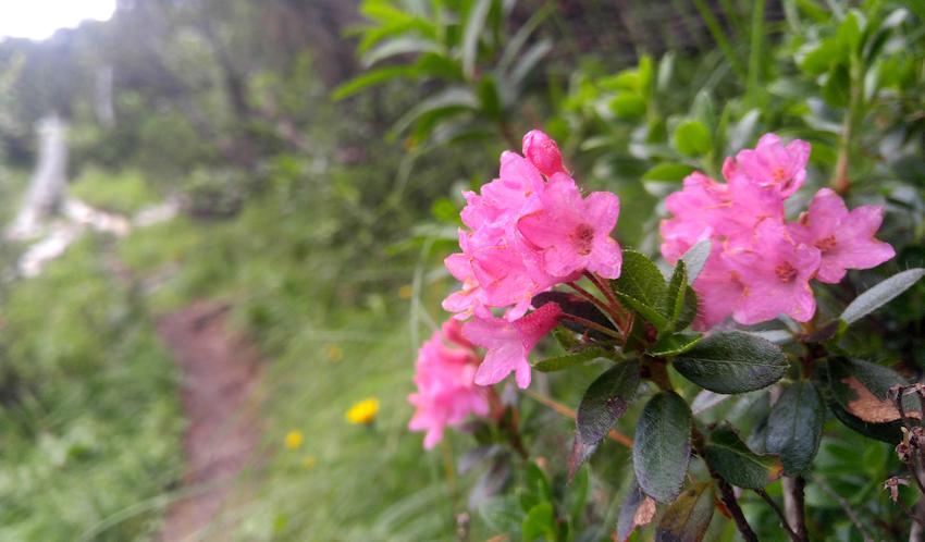Alpenrose oder Almrausch